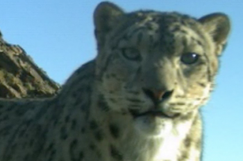 Snow Leopard Trust Video