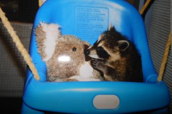 Orphaned, Baby Raccoon